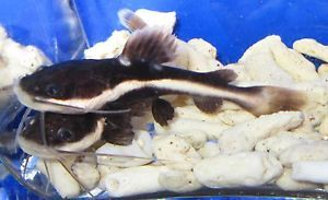 Red Tail Catfish Live Freshwater Aquarium Fish