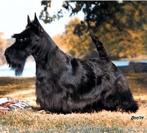 Scottish Terrier Dog Grooming DVD