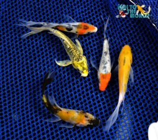 "5 Lot 3 4"" Assorted Butterfly Fin Live Koi Pond Garden Fish KTTW 75"