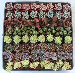 140 Beautiful Succulents for Wedding/party Favors Patio, Lawn & Garden