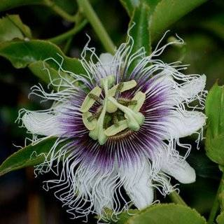 10 Seeds, Purple Passion Flower (Passiflora edulis) Seeds By Seed